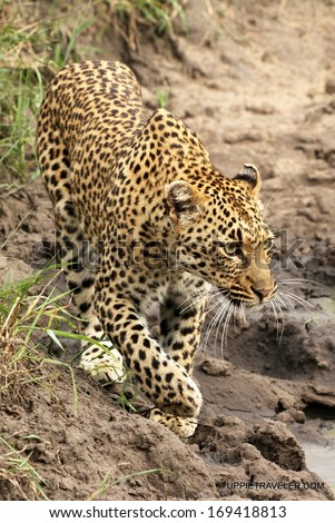 Sub adult leopardess approaching watering hole, Sabi Sand Private Game Reserve, South Africa