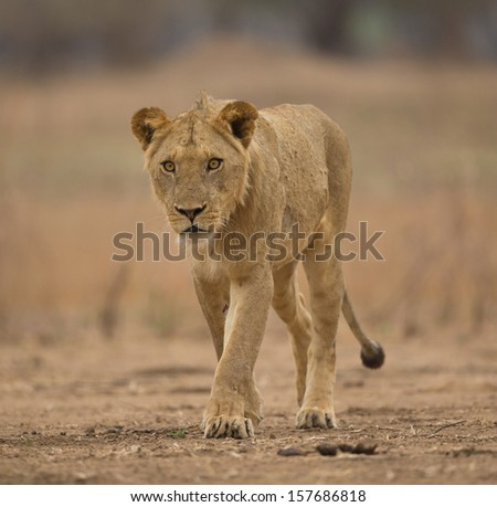 Sub-adult male lion (Panthera leo), too close for comfort?