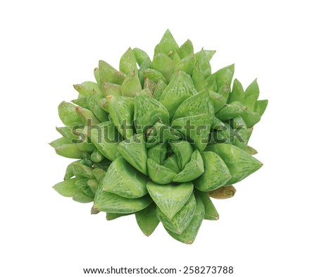 Succinct green cactus - stock photo