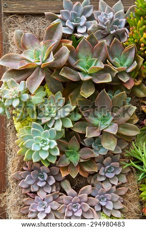 Succulent drought resistant plants in a vertical garden wall