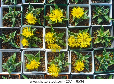 Succulent flower blooming (Faucaria tigrina ) - stock photo