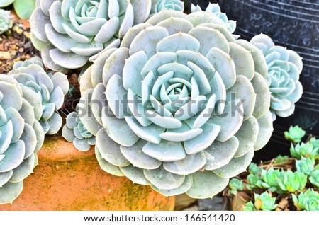 succulent - green cactus flower - stock photo