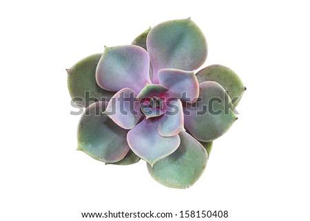 Succulent : Isolated big purple rosette echeveria - stock photo
