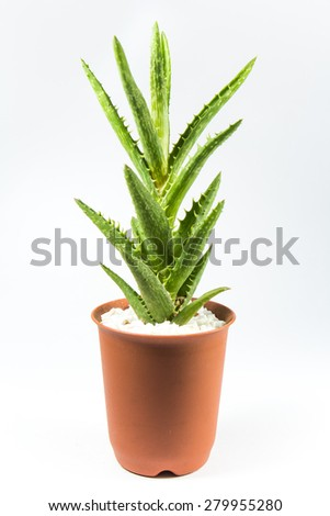 Succulent On White Background - stock photo