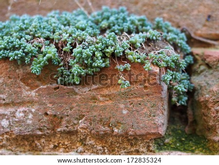 Succulent plant growing on old terracotta bricks - stock photo
