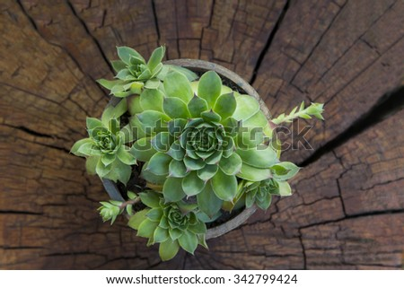 succulent plant in a pot on a tree stump - stock photo