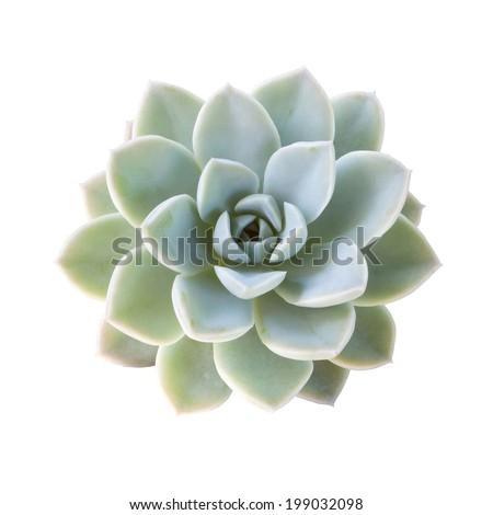 Succulent plant isolated on white background. - stock photo