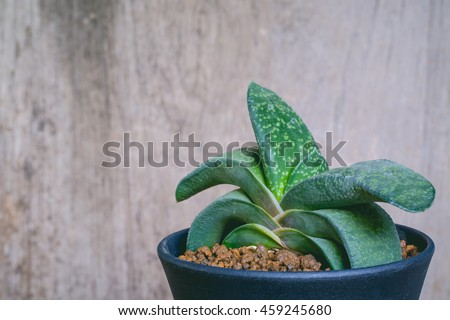 succulent plant with Green Gasteria gracilis in the plastic pot. - stock photo