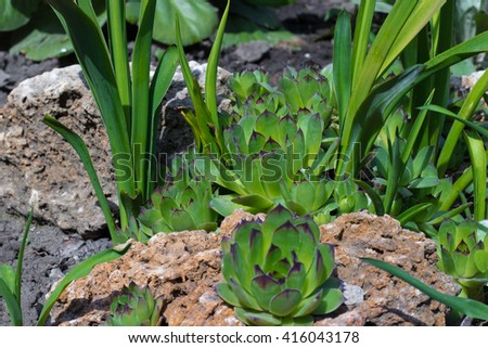 Succulent plants in the garden in the soft light - stock photo