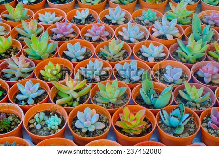 Succulent ,Thailand - stock photo