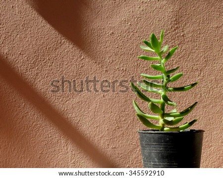 succulent with strong sunlight and shadow
