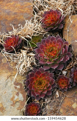 Succulents in a garden wall. - stock photo