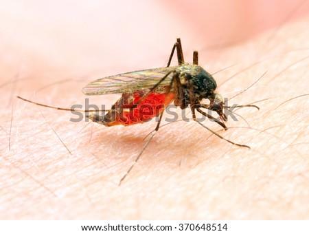 Sucking mosquito, dangerous vehicle of zika, dengue, chikungunya, malaria and other infections. Digital artwork on healthcare theme. - stock photo