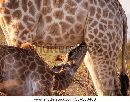 Suckling giraffe - stock photo