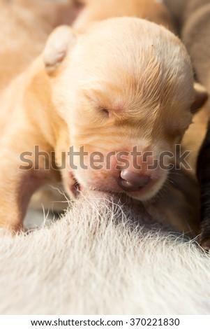 Suckling of Labrador Retriever Baby from Mother - stock photo
