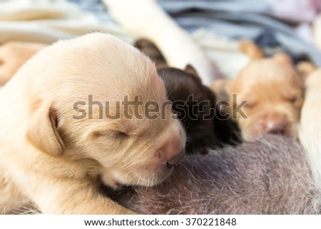 Suckling of Labrador Retriever Baby from Mother