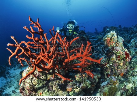 SUDAN, Red Sea, U.W. photo, diver and Orange Finger Sponges (Neoesperiopsis rigida)  - FILM SCAN - stock photo