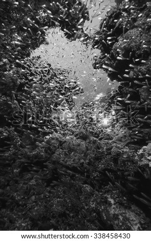 SUDAN, Red Sea, U.W. photo, Glassfish school (Parambassis ranga) - FILM SCAN - stock photo
