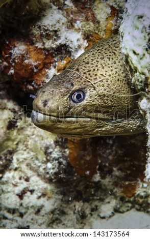SUDAN, Red Sea, U.W. photo, tropical moray eel - FILM SCAN - stock photo