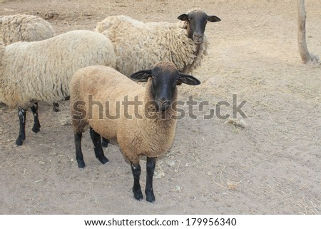 Suffolk black-faced domestic sheep on a farm