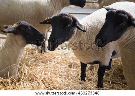 Suffolk sheep with mother sheep on the farm
