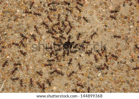 Sugar ants gather around the hole of their nest, Queensland, Australia - stock photo