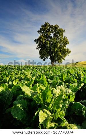 Sugar beet field - stock photo