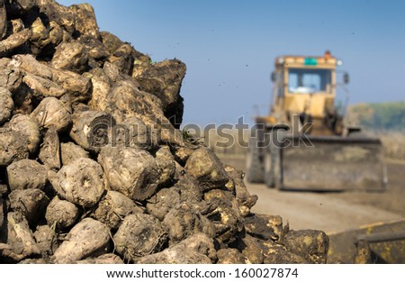 Sugar beet pile after harvest - stock photo