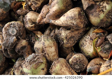 sugar beet roots for making white sugar in europe - stock photo