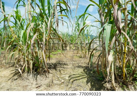 Sugar cane agriculture in Malaysia. A tropical plant.