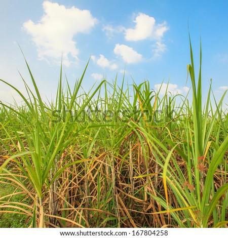 sugar cane farm and sky - stock photo