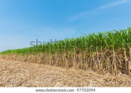 Sugar cane field in blue sky - stock photo