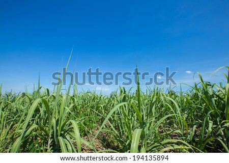 sugar cane field with blue sky background - stock photo