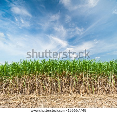 Sugar cane field with sky - stock photo