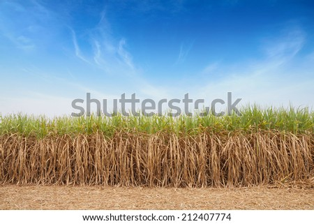 Sugar cane field with sky.