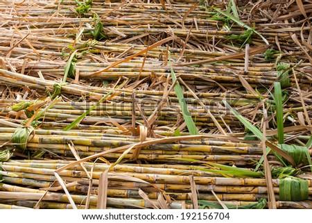 sugar cane fields, culture - stock photo