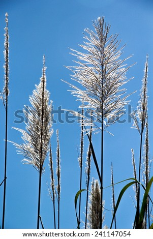 Sugar-cane Flower - stock photo