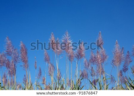 sugar cane flower against blue sky. - stock photo