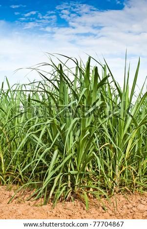 Sugar cane growth in a field,Khonkaen,Thailand. - stock photo