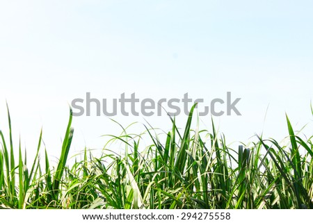 Sugar cane leaf with clear sky for background - stock photo
