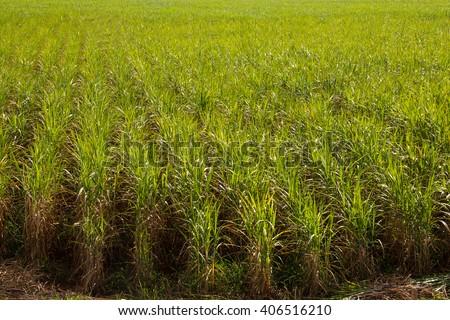 Sugar Cane Monoculture - stock photo