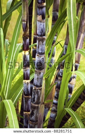 Sugar cane plant - stock photo