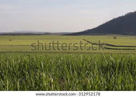 sugar cane plantation - stock photo