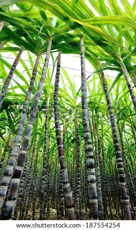 sugar cane plants - stock photo