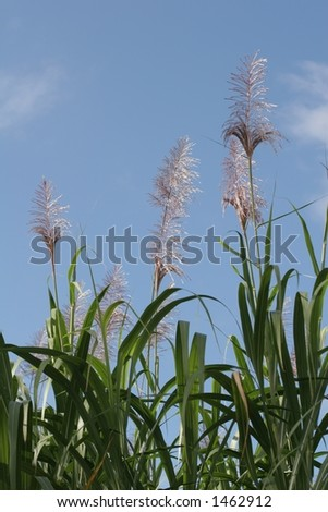 Sugar cane (portrait) - stock photo