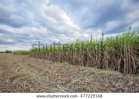 Sugar cane with blue sky at Tay Ninh, Vietnam