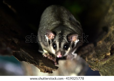 Sugar glider live inside a tree log at Daintree National Park in the tropical north of Queensland, Australia - stock photo