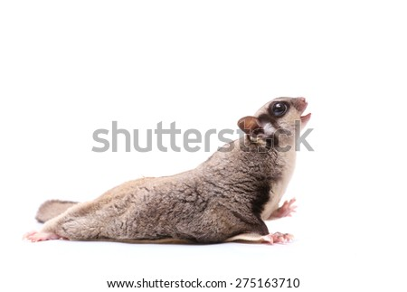 Sugar glider mouth open on white background - stock photo