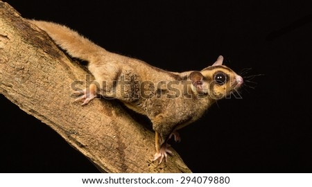 Sugar glider on a branch isolated on a black background