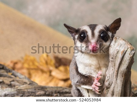 Sugar glider on a stump / Petaurus breviceps